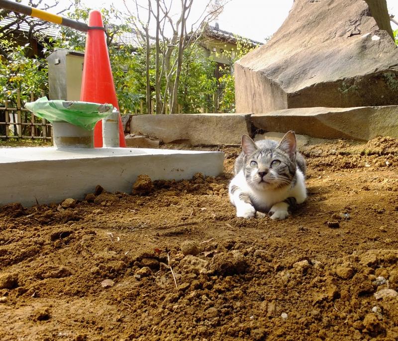 土境内で真剣な顔のネコ