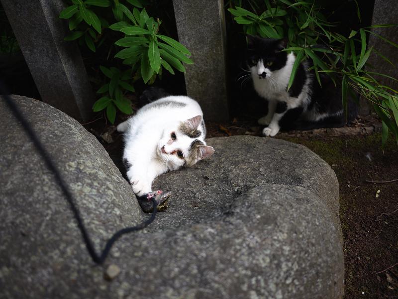 ネズミ遊びに参加するネコ見ているネコ