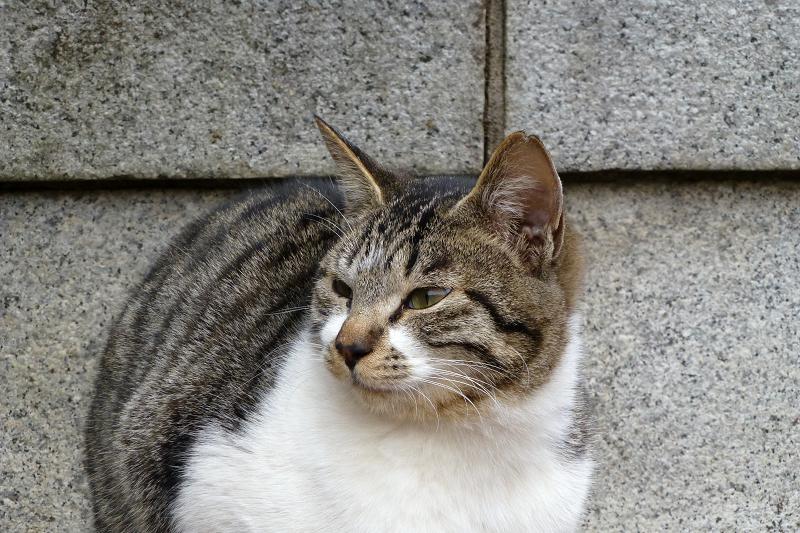 アンニュイな表情のネコ