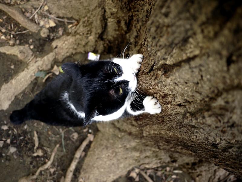 銀杏の木に力強く爪を立てるネコ