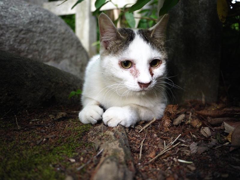 つぶらな瞳で見つめてるネコ