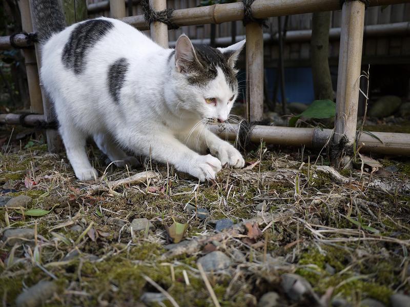 木の根っこで爪を研ぐネコ