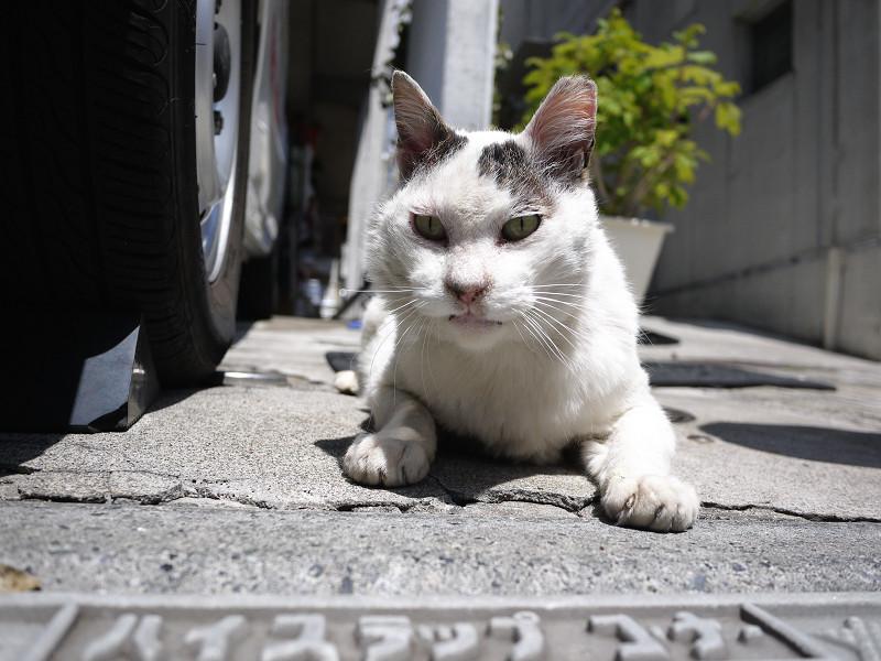 車の横で腹ばってるネコ
