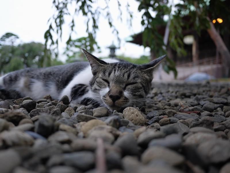 柳の下のネコ