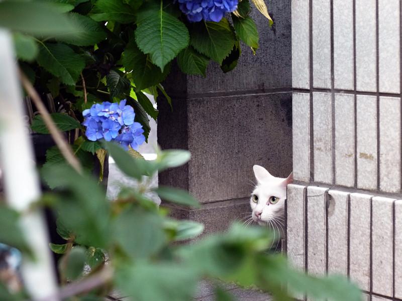 紫陽花を見ている白猫