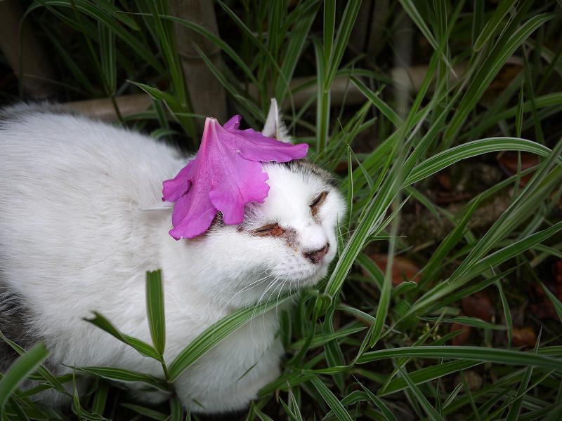 躑躅花を頭に乗せたネコ