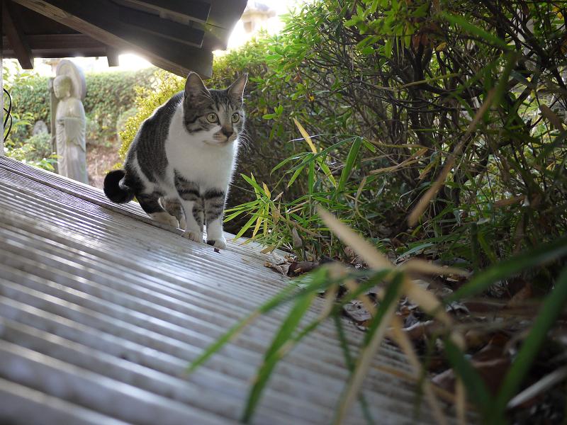 トタン屋根の興味津々のネコ