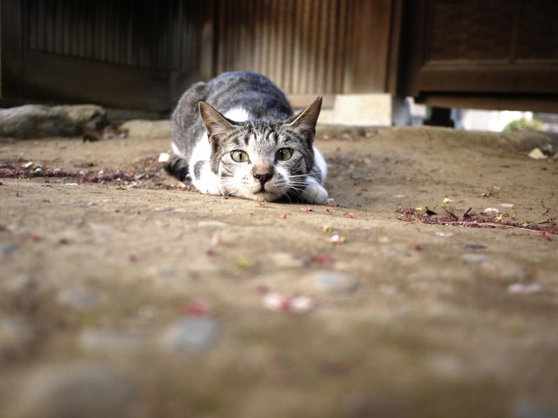 低い姿勢で身構えるネコ