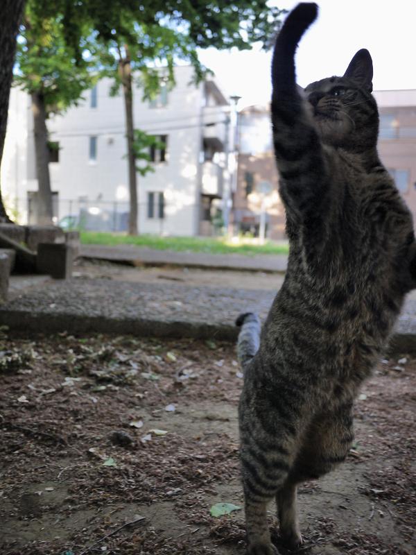フラダンスを踊るネコ