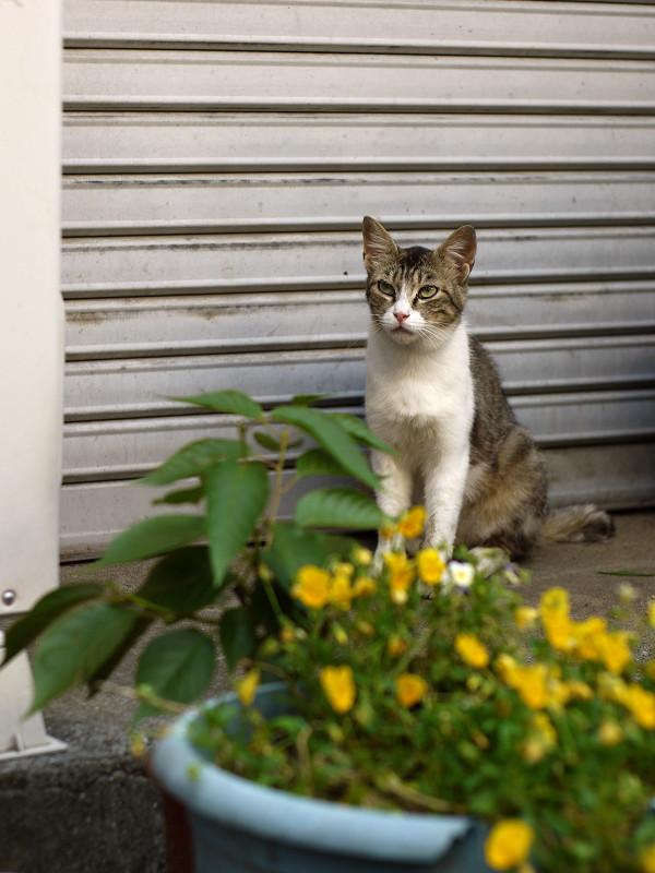 黄色い花の前に座ってるネコ