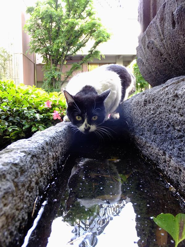 溜まり水を飲もうとしているネコ