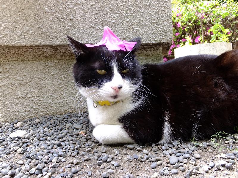 プランターの横で躑躅花を乗せてるネコ