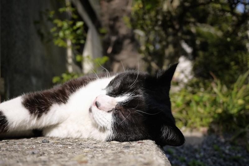 コンクリートの上で寝てるネコ
