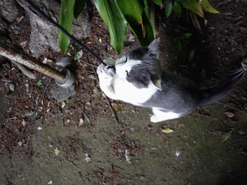 立ち上がりネズミを掴まえたネコ