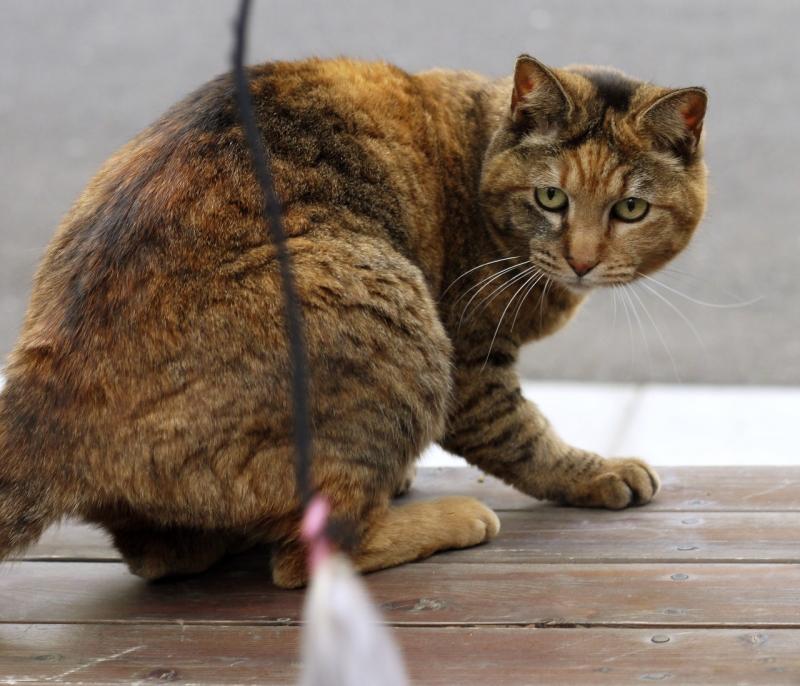 テーブルに乗ってネズミを見てるネコ