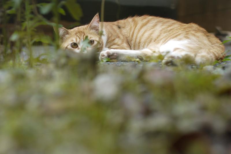 雑草の向こう側のネコ