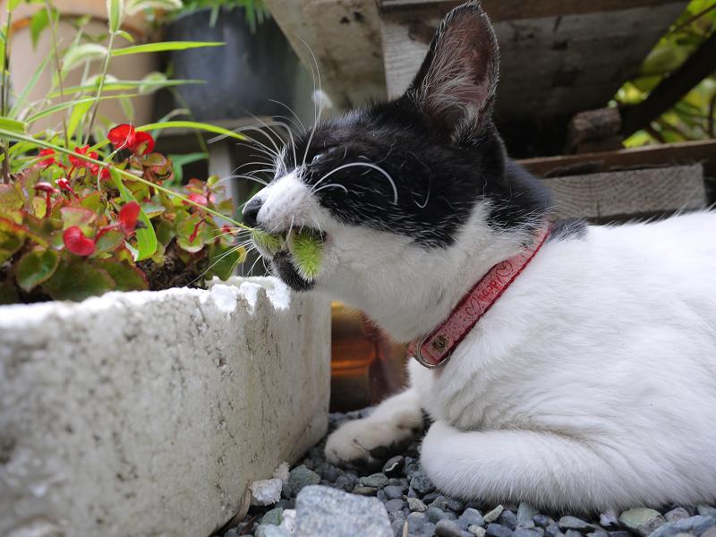 エノコロ草を食べるネコ