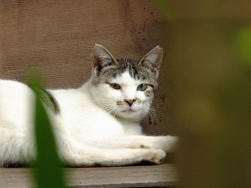 緑の葉っぱの向こう側のネコ