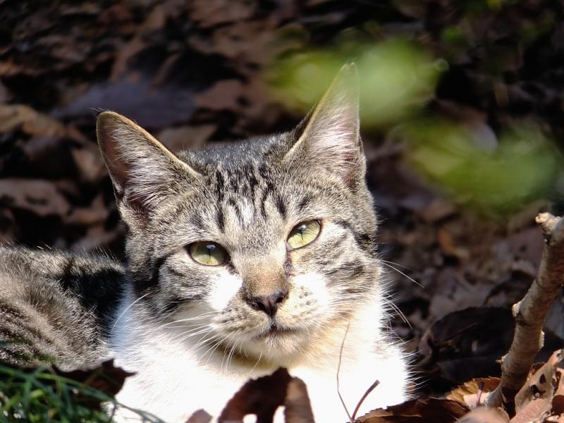 枯葉の上に寝そべってカメラを見てるネコ
