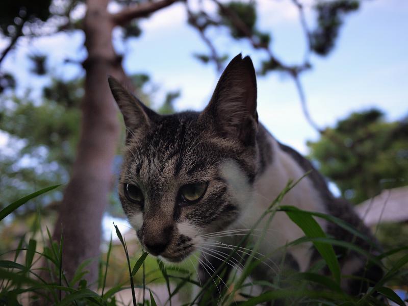 草を食べてる風のネコ