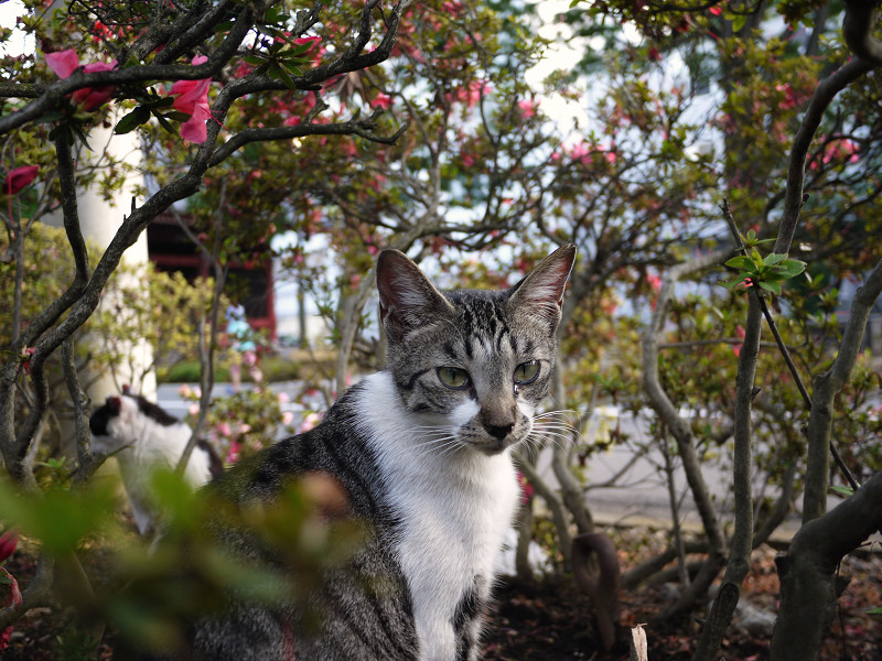 サツキの茂みの中のネコ