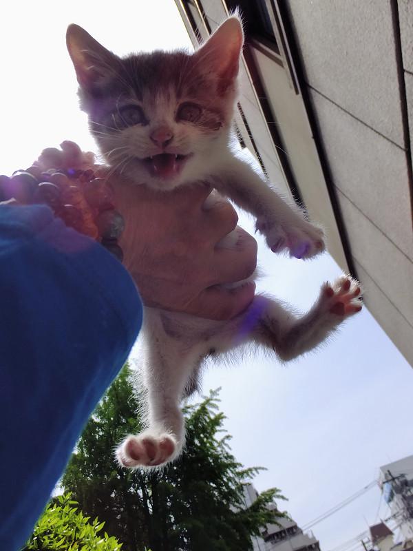 手の平に乗った仔猫の写真