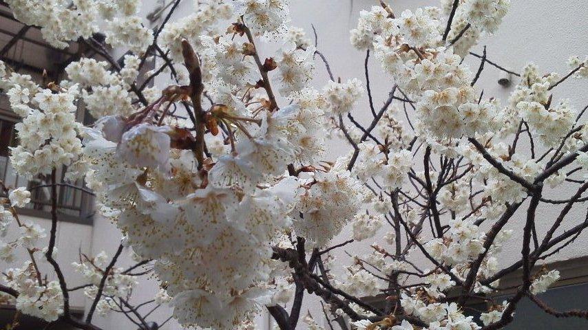サクランボ桜