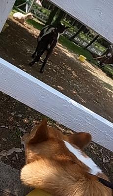 ゆめ牧場ヤギ