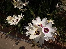花イキシア