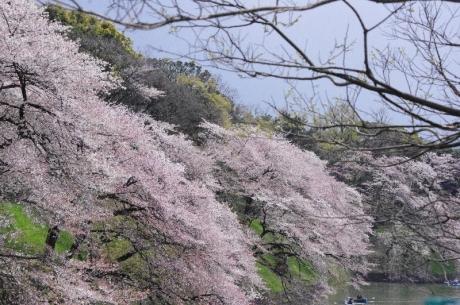桜千鳥ヶ淵