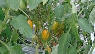 tomato@20140713.jpg