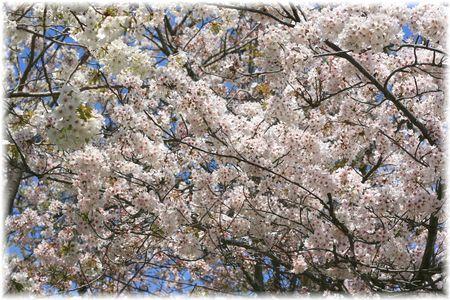 2014.4.8 お花見①