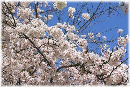 2014.4.8 お花見④