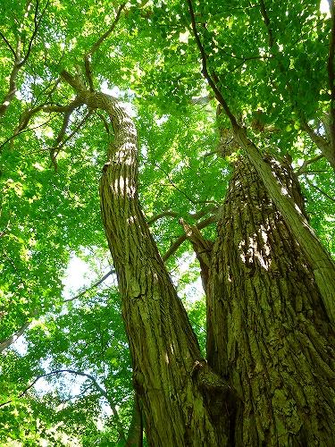 「円山原始林」のカツラの巨木