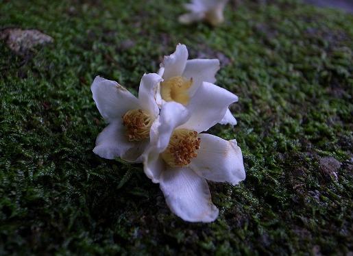6月24日 ヒメシャラの花