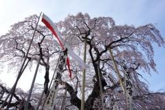 滝桜正面 s