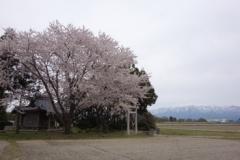 新潟 桜s