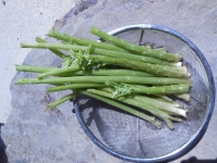 H260401フキの茎
