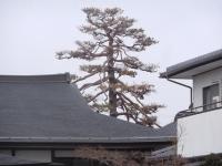 H260421枯れた大松3月21日の姿