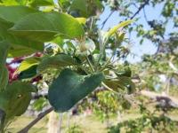 H260506リンゴの摘果