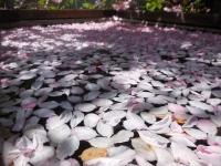 H260506カイドウの桜川