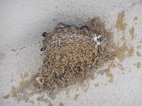 H260525農協のツバメの巣で