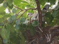 H260626プルーンに鳩ノ巣