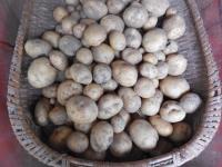 H260724ジャガイモ収穫