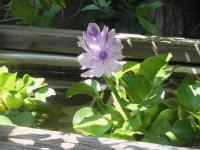 H260730ほてい草の花
