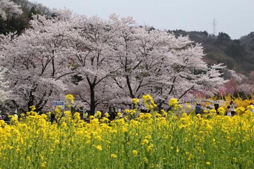 20140418_花見山02