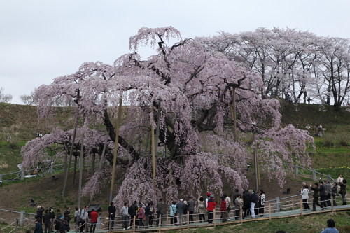 20140418_三春滝桜01