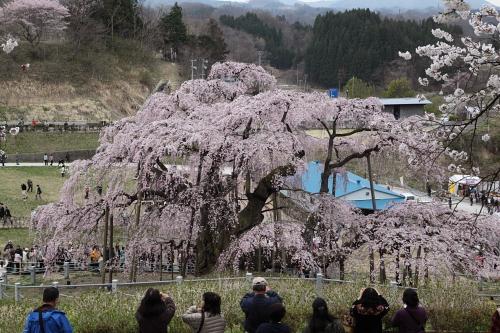 20140418_三春滝桜03