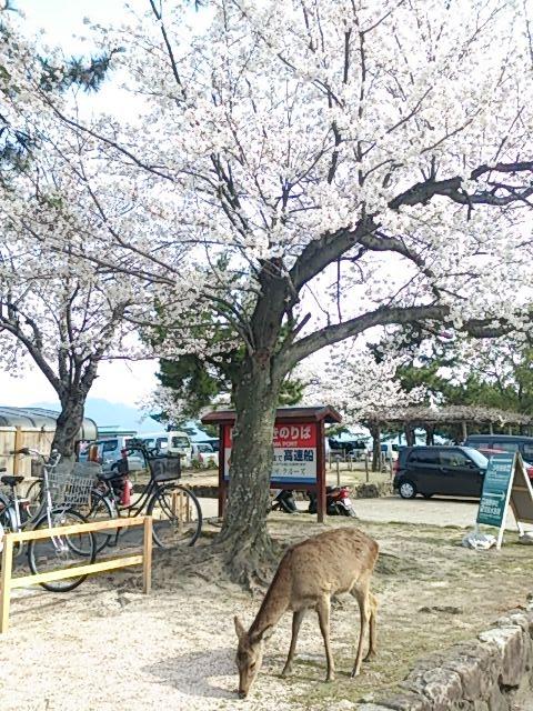宮島桜 1