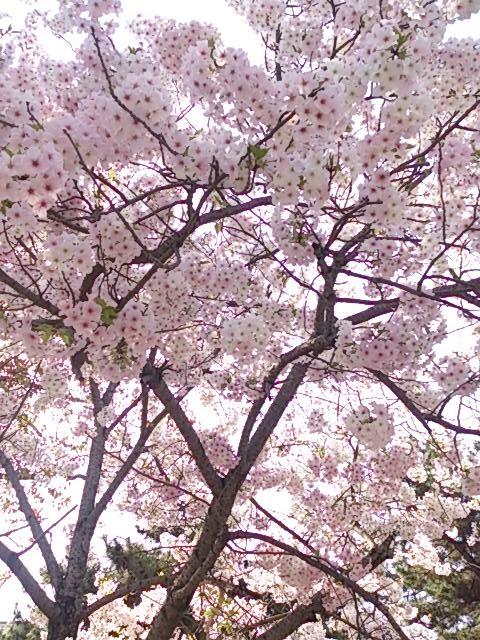 宮島桜 3
